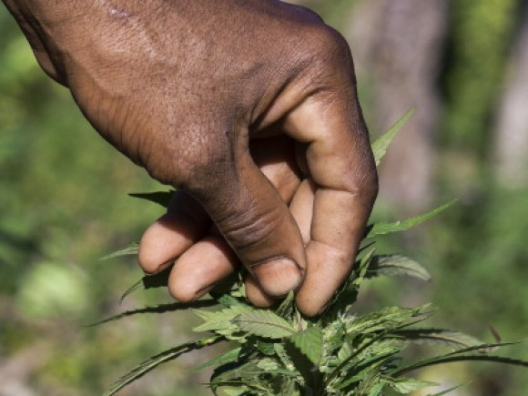 Jamaican ganja farmer checks his marijuana plants.