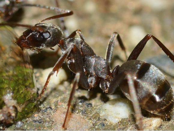 Ants find their way home even when going backwards by familiarizing its surroundings.